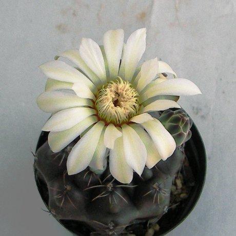 Sany0105--schroederianum ssp boesii--Piltzz seed 3402