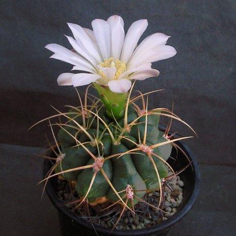Sany0122--movillei v steineri--JPR 92-109-260--CB -010698-(CCB seed (2006))
