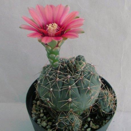 Sany0052--schreiteri--Lau 439--Sierra Medina Salta 1400m--Bercht seed 4498(2013)