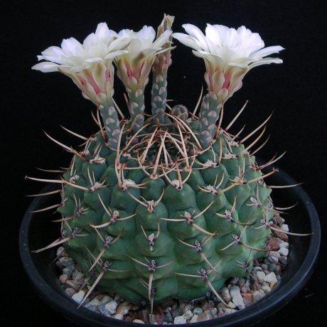 Sany0115--schroederianum v paucicostatum--LB 960--Mesa seed 488.62