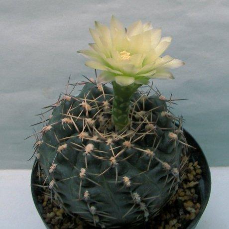 Sany0149--schroederianum v paucicostatum--Coll Hermut Amerhauser--Monte Caseros Corrient--Cactus Hobby seed DS-011560 (2009)