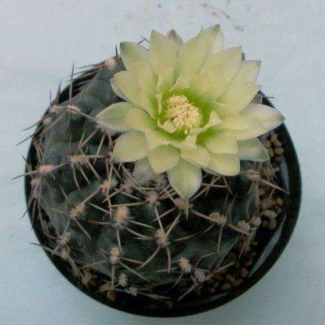 Sany0151--schroederianum v paucicostatum--Cactus ahobby seed