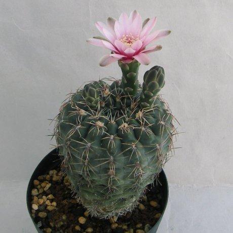 Sany0035--papschii--HV 671--Bercht seed GYM-342 (2004)