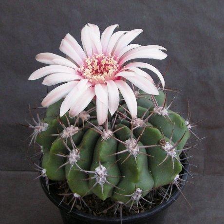 Sany0169--mostii v miradorense--LB 975--Mesa seed 475.3