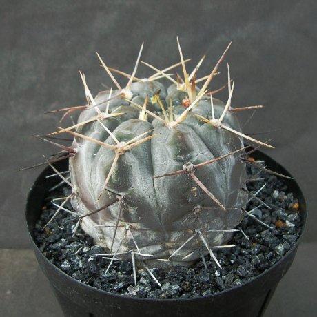 Sany0070--borthii ssp nogolense--Tom 07-219.1--ex Milena