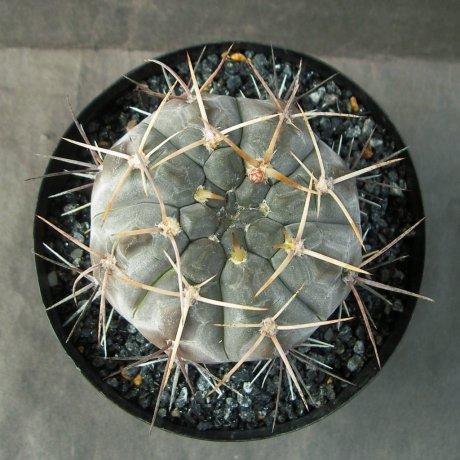 Sany0072--borthii ssp nogolense--
