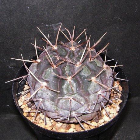 Sany0203--borthii ssp nogolense--Tom 07-219-1--ex Milena