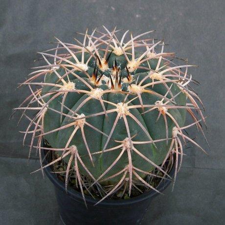 Sany0177--spegazzinii v punillense--VS 80--Succseed seed 412(2002)