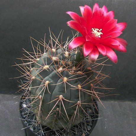 Sany0031--baldianum sanguiiflorum--WR 765--Pilltz seed 3528--ex Milena--