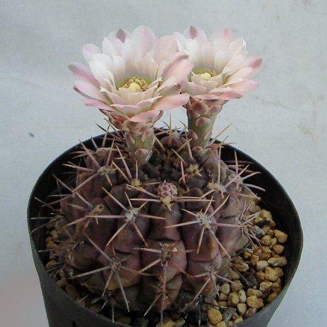 Sany0015--chubutense--JPR 35-86--iltz seed P 5043--ex milena