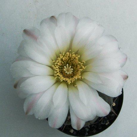 Sany0139--dubniorum--JPR 18-154--Bercht seed