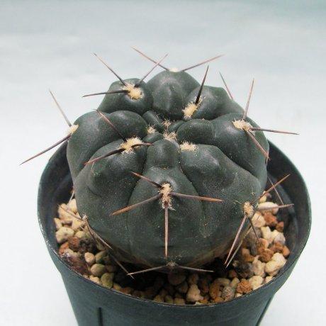 Sany0155--kubesai--JPR 92-68-154--Dhonalik seed DS-012149