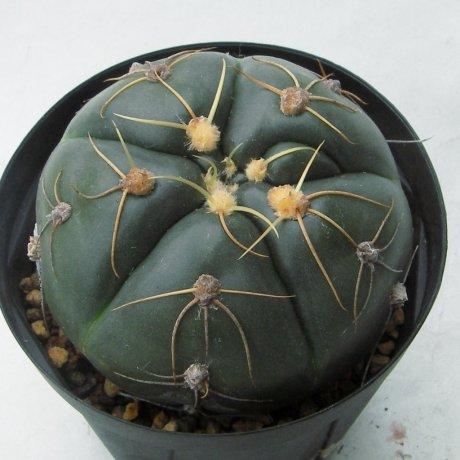 Sany0180--denudatum--LB 814--bercht seed