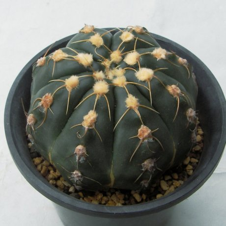 Sany0164--denudatum--GF 32--Koehres seed