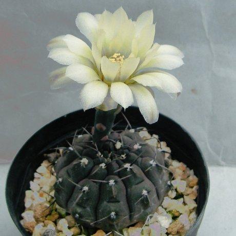 Sany0080-ochoterenae var--Tom 07-233.1-chocolate body--Las Chilcas fro IMP Junin--kulhanek seed (2011)