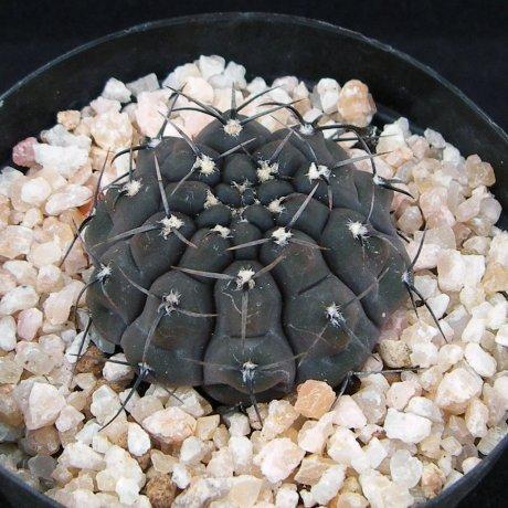 ochoterenae var--Chocolate body--Tom 07-233-1--Los Chilcas--Kulhanek seed (2011)