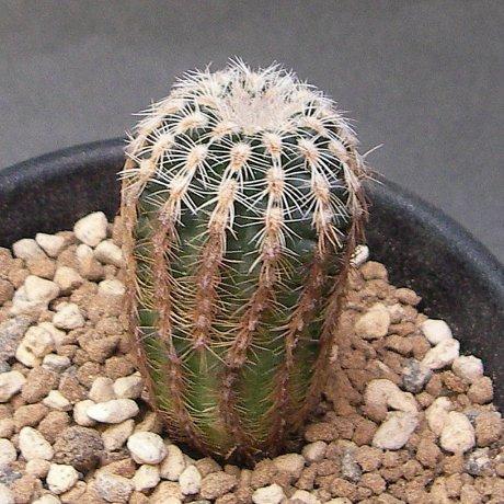 Sany0014--bruchii ssp pawlovskyi--VoS 05-152--San Pedro norte, Cordoba, 935m. --VoS seed (2011)