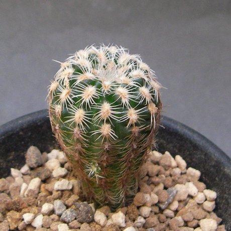 Sany0026--bruchii ssp pawlovskyi--LB 3365--south San Pedro Norte, Cordoba 957m--Bercht seed 1984(2010)