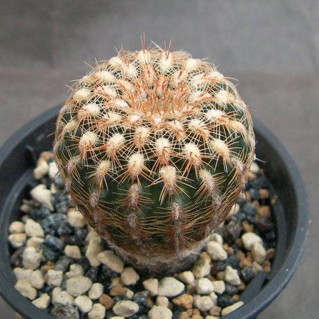 Sany0192--bruchii ssp pawlovskyi--RH 2939a--Santa Cruz Sobremento Cordoba 930m--ex Eden 18578(2012)