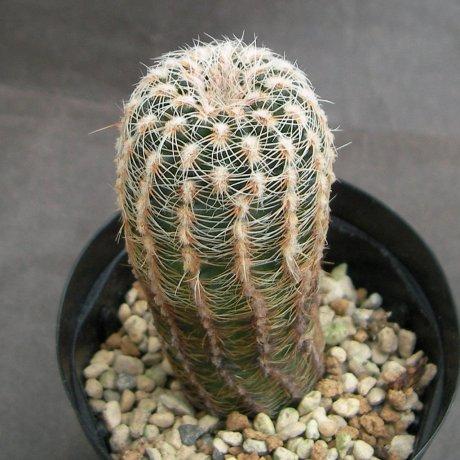 Sany0194--bruchii ssp pawlovskyi--MM 830--R 18 to S Rosa Cordoba--ex Milena(2013)