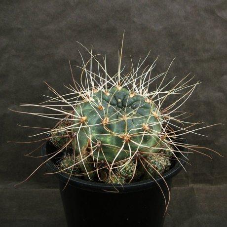 Sany0178-andreae v longispinum--ex mrk