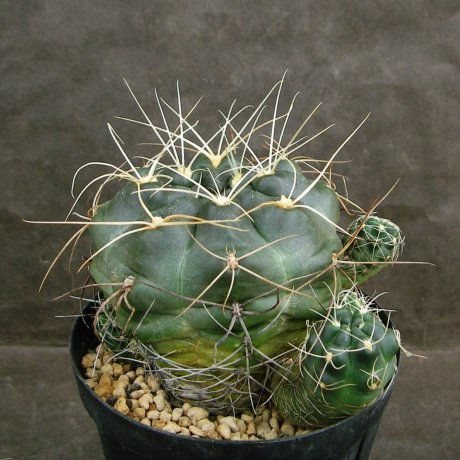 Sany0180--andreae v longispinum--Piltz seed 5458