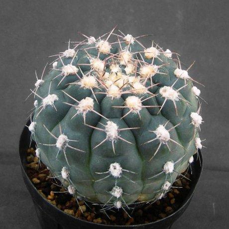 Sany0127--alboareolatum--P 221--Koehres seed