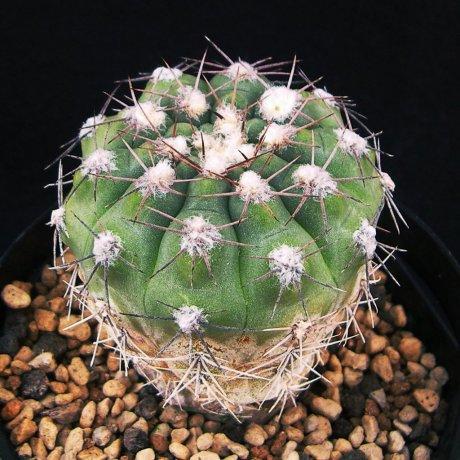 Sany0028--alboareolatum--P 221--Sanagasta LR 1100m--Koehres seed 3433