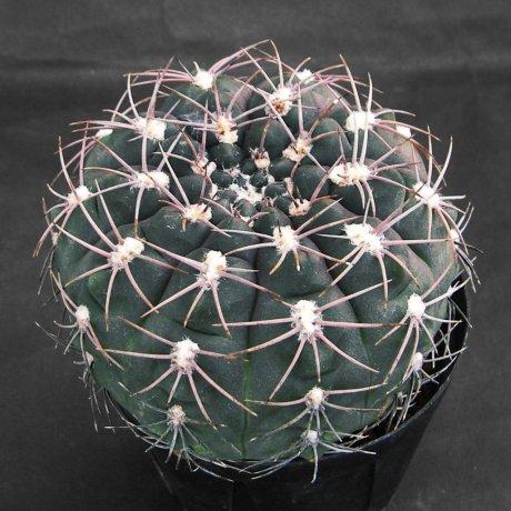 Sany0105-alboareolatum--P 382A--Piltz seed