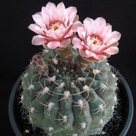 Sany0026--alboareolatum--P 221--Koehres seed