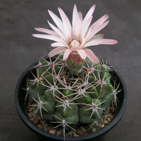 Sany0024--valnicekianum v bicolor--Tom 244.1--Cruz del Eje Cordoba--ex Eden 22728