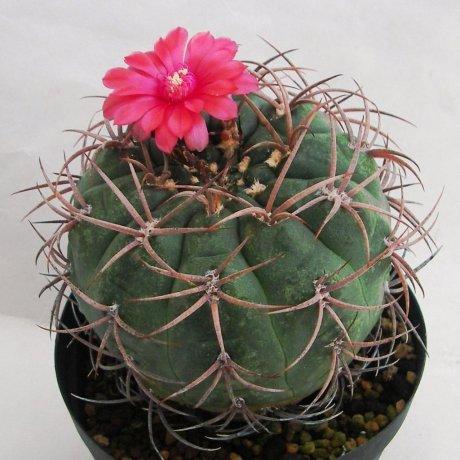 Sany0062--carminanthum v montanum--SL 35a--Piltz seed 5210--ex Milena