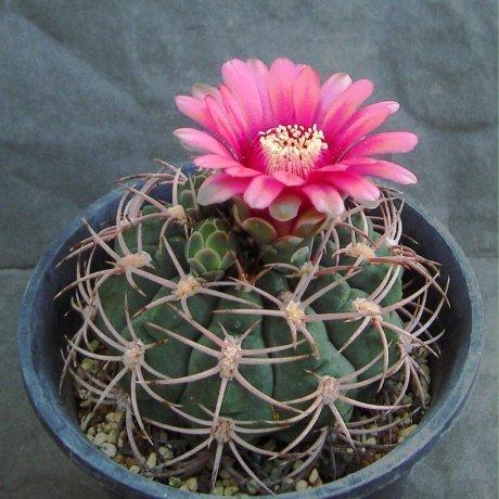 Sany0171--carminanthum v montanum--HV 611--Amerhauser seed