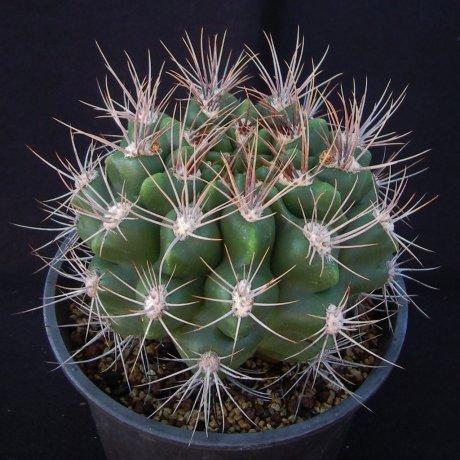 Sany0057--immeoratum--P 83--Bercht seed