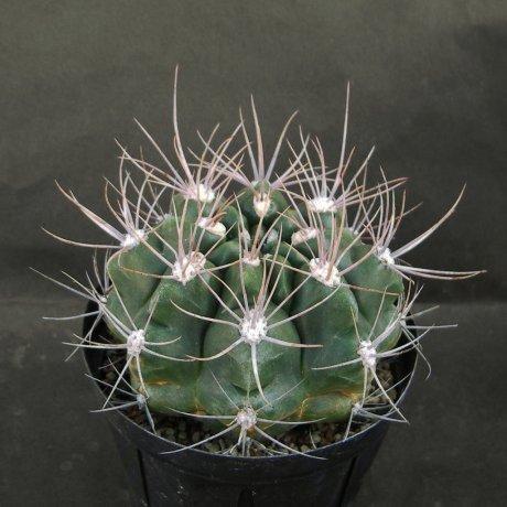Sany0120--immemoratum--p 83--Capilla del Monte 1000m Cordoba--Bercht seed