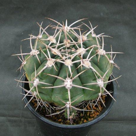 Sany0180--mostii v kurtzianum--P 84--Succseed seed 448(2002)