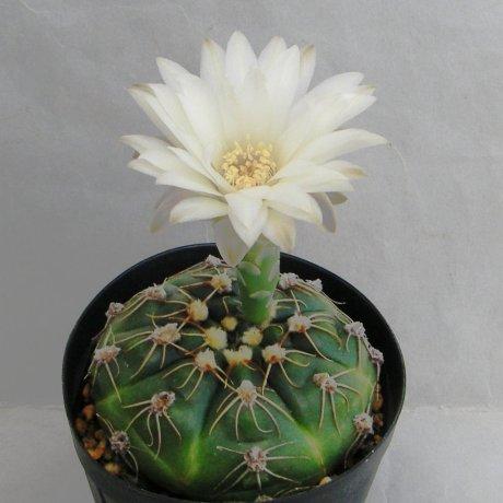 Sany0013--denudatum ssp angulatum--GF 309--northen Dom Pedrito--Piltz seed 4946