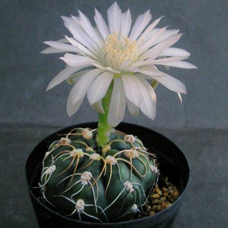Sany0059--denudatum ssp angulatum--MM 418--Piltz seed 4604--ex Milena