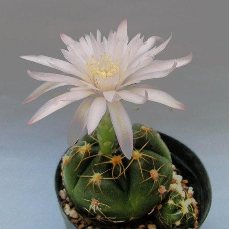 Sany0140--denudatum ssp angulatum--GF 304--Dom Pedrito R G d Sul Brazil