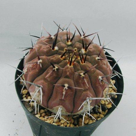Sany0163--bodenbenderianum--P 402--Piltz seed 4328