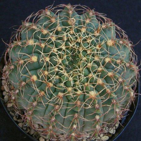 Sany0141--quehlianum flavispinum--p 180--piltz seed
