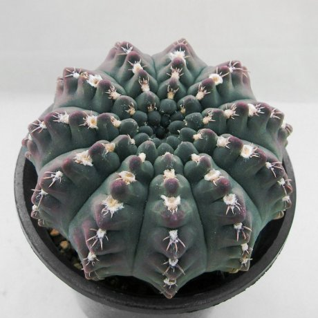 Sany0101--quehlianum v kleinianum--Piltz seed 2303