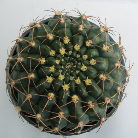 Sany008a--eytianum--STO 969--Piltz seed 5027--ex milena