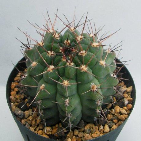 Sany0099--striglianum ssp aeneum--GN 120-893--La Cafera SL 800m--Bercht seed 4217 (2014)