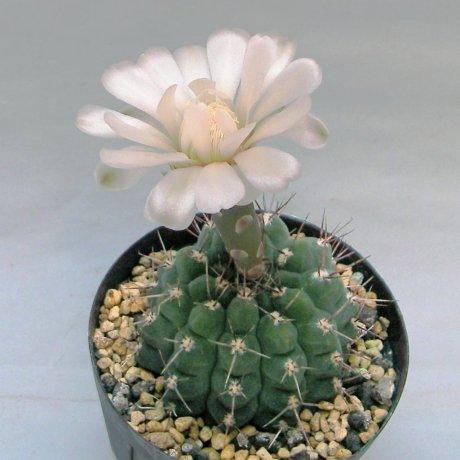 Sany0047--striglianum ssp aeneum--GN 120-893--La Cafera SL 800m--Bercht seed 4217 (2014)