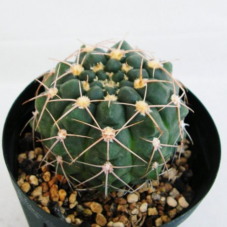 Sany0138--capillense v sigelianum--Tom 06-12-3--Tres Cascades Sierra Chica--ex Milena