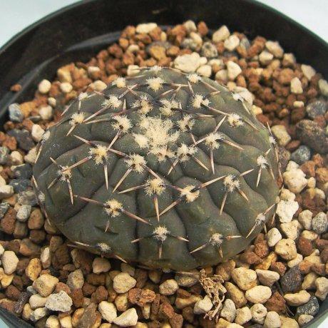 Sany0036--platygonum--JO 171--Salinas Grandes--Bercht seed 3624 (2014)