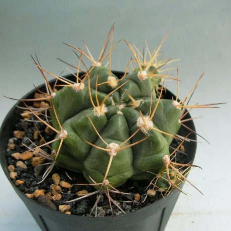 Sany0013-pseudomalacocarpus--VoS 03-051--Santa Ana Santa Cruz 160m Boilivia--VoS seed --ex Shimada