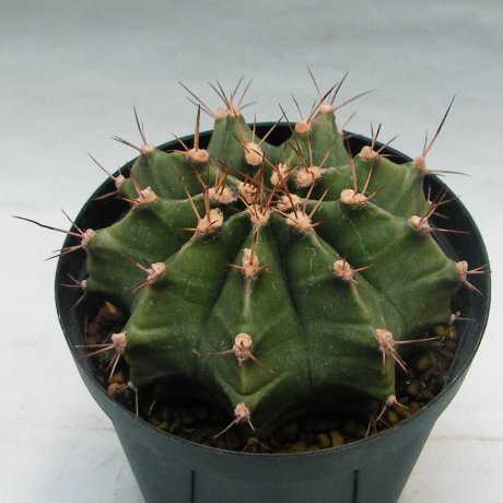 Sany0070--pseudomalacocarpus--Jecminek seed