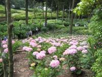 紫陽花と花菖蒲-2